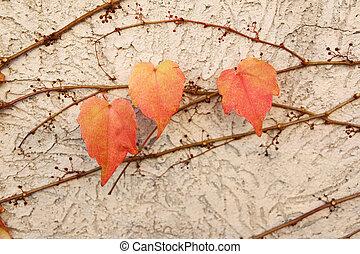 feuilles automne, lierre, rouges