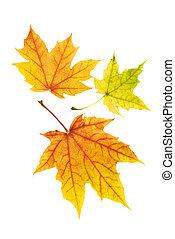feuilles automne, propre, coloré
