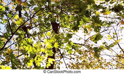 feuilles automne, vert, coloré