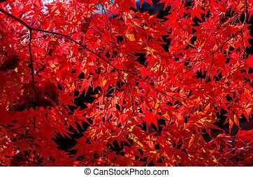 feuilles automne, vif, rouges, après-midi