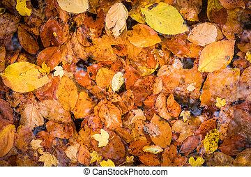 feuilles automne, water.