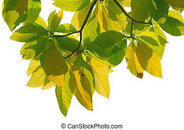 feuilles, backlit