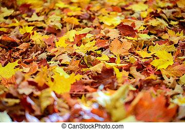 feuilles, baissé, forêt, érable