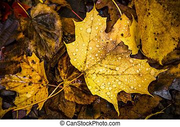 feuilles, baissé, forêt, érable, plancher