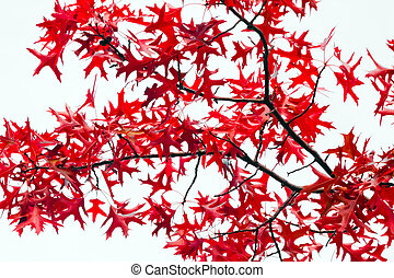 feuilles, blanc rouge, fond, automne