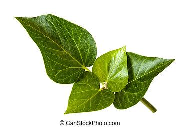 feuilles, blanc, sur, lierre