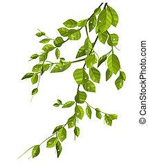 feuilles, blanc, vert, isolé, branche