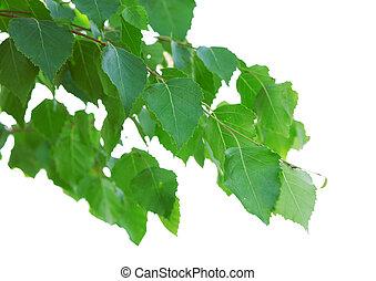 feuilles, bouleau