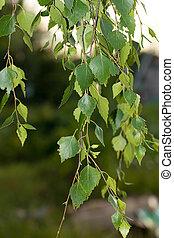 feuilles, bouleau, nature