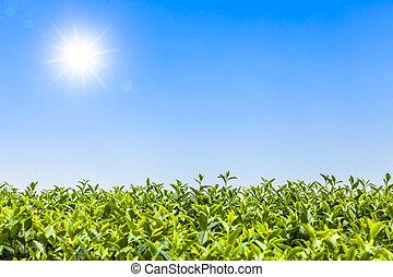 feuilles, bourgeon, fond, thé, vert