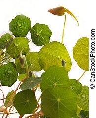 feuilles, capucine