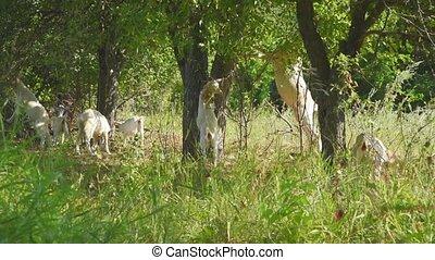 feuilles, chèvres, herbe, area., troupeau, bétail, manger,...