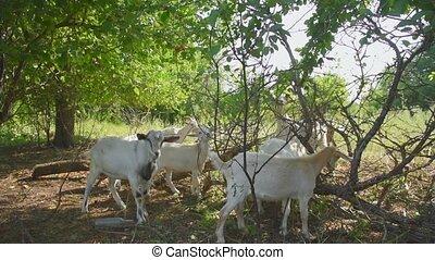feuilles, chèvres, herbe, area., troupeau, bétail, manger, rue., forêt, écorchures