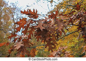 feuilles chêne, fall.