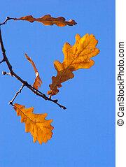 feuilles, chêne