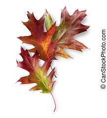 feuilles, chêne, trois