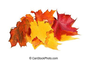 feuilles, coloré, érable, automne