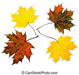 feuilles, coloré, érable