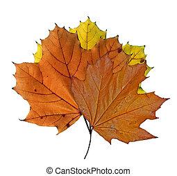 feuilles, couleurs, érable, automne