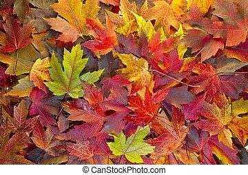 feuilles, couleurs, 2, fond, automne, mélangé, érable