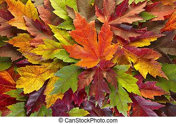 feuilles, couleurs, fond, automne, mélangé, érable