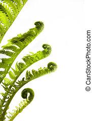 feuilles, croissant, (, art, printemps, fougère, fond, blanc...