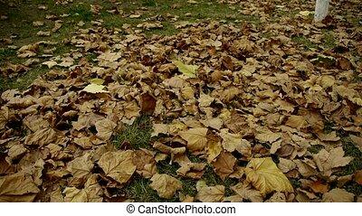 feuilles, entiers, doré, tomber