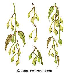 feuilles, eucalyptus, bourgeons