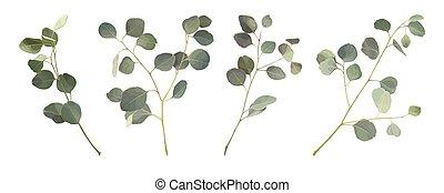 feuilles, eucalyptus, ensemble