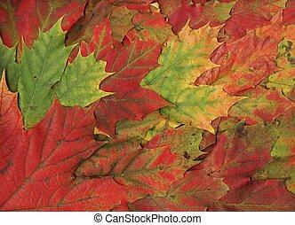 feuilles, -fall, érable, fond, rouges