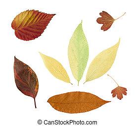 feuilles, fond, isolé, sec, automne, blanc
