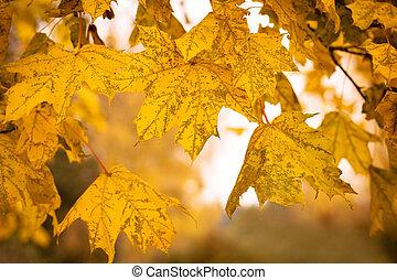 feuilles, foyer peu profond, automne, fond, érable