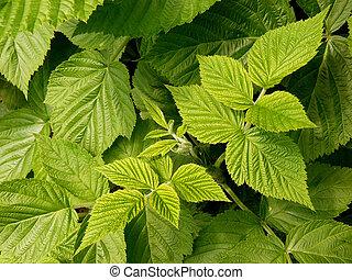 feuilles, framboise