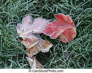 feuilles, givré
