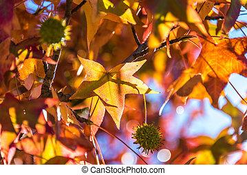 feuilles, graine, fond, érable rouge