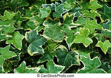 feuilles, hedera, vert, usines, lierre, hélix, fond