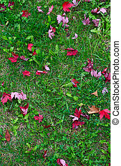 feuilles, herbe, érable, rouges, canadien