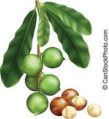 feuilles, illustration, arrière-plan., macadamia., vecteur, fruits, blanc