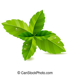 feuilles, isolé, arrière-plan vert, frais, blanc, menthe