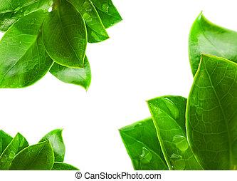 feuilles, isolé, arrière-plan vert, frais, blanc
