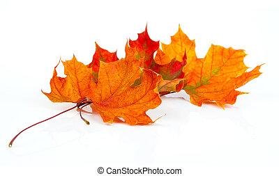 feuilles, isolé, automne, fond, blanc, érable
