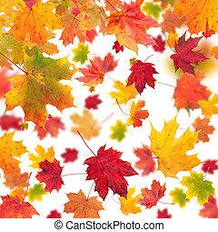 feuilles, isolé, fond, blanc, tomber, érable