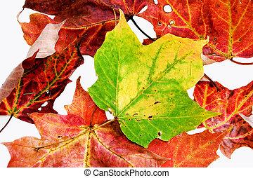 feuilles, isolé