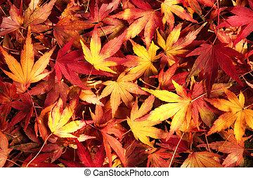 feuilles, japonaise, couleurs, chaud, rêveur, érable