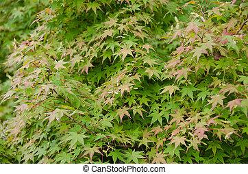 feuilles, japonaise, fond, érable