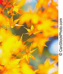 feuilles, jaune, érable