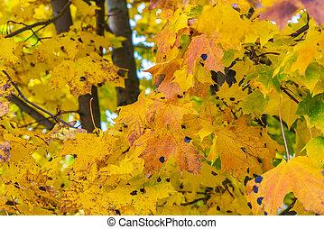 feuilles, jaune, automne, clair, fond, érable