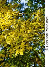 feuilles, jaune, automne, clair, jour, érable