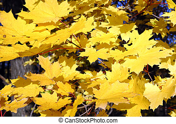 feuilles, jaune, clair, érable