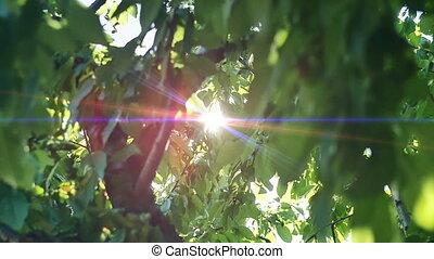 feuilles, lumière soleil